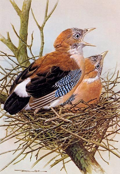 British Birds - Jay