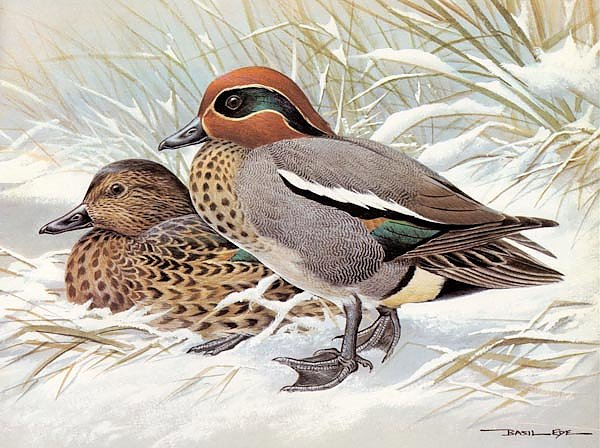 British Birds - Teal