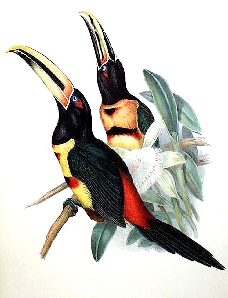 Red-rumped Aracari