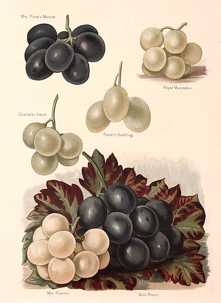Grapes - Mrs Pince's Muscat, Royal Muscadine, Chasselas Vibert, Foster's Seedling,Mrs Pearson, Gros