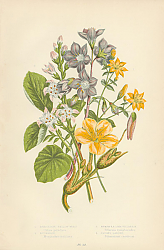 Постер Perfoliate Yellow-wort, Buckbean, Nymphea-like Villarsia, Jacob's Ladder