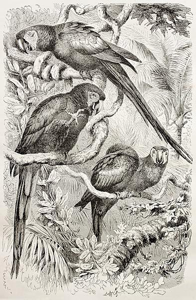 Scarlet Macaw (Ara macao). Created by Kretschmer and Schmid, published on Merveilles de la Nature, B