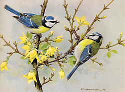 Постер British Birds - Blue Tit