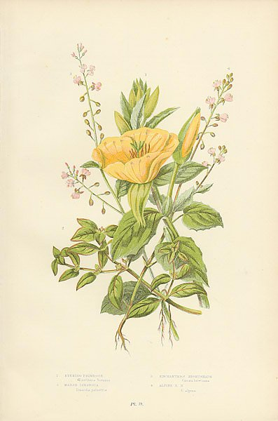 Evening Primrose, Marsh Isnardia, Enchanter's Nightshade, Alpine e.n.