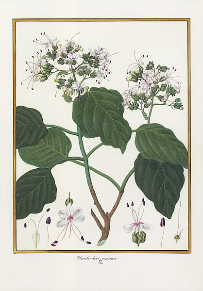 Clerodendron viscosum