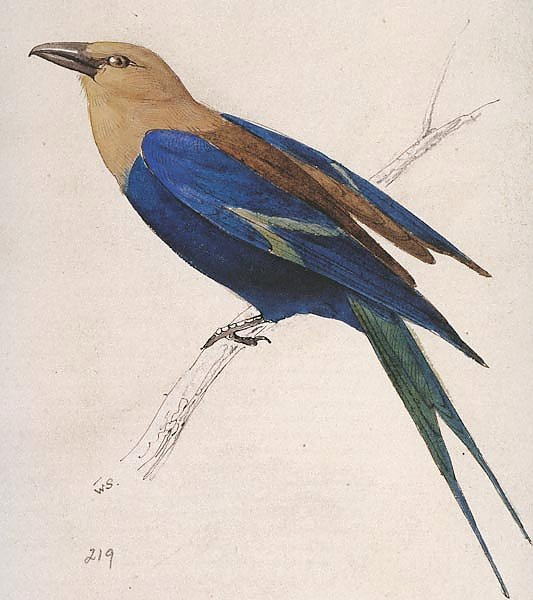Blue-billed Roller
