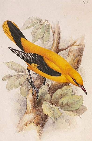 Golden Oriole (male)