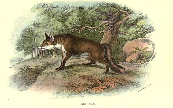 BRITISH MAMMAL 1896 FOX