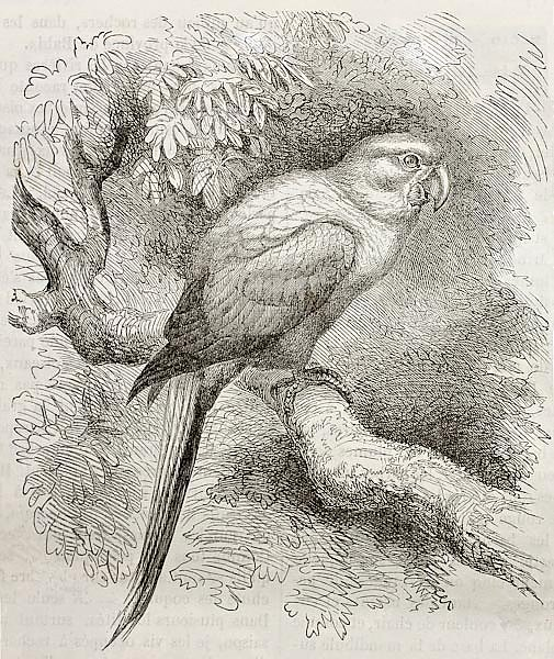Sun Parakeet (Aratinga solstitialis). Created by Kretschmer and Schmid, published on Merveilles de l