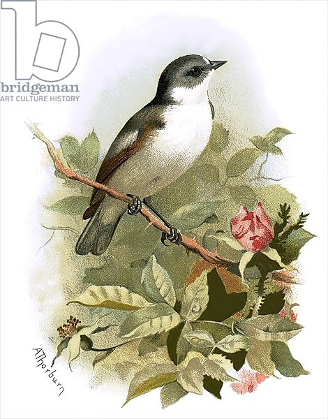 Pied fly catcher
