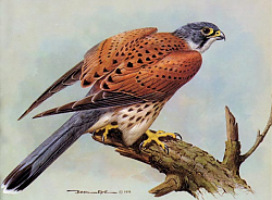Постер British Birds - Kestrel