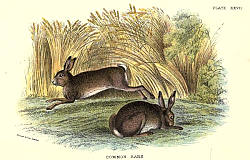 Постер BRITISH MAMMAL 1896 COMMON HARE