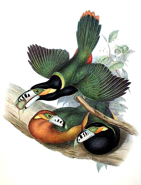 Spotted-billed Toucanet