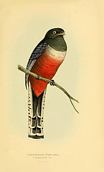 Постер Purple-breasted Trogon, female
