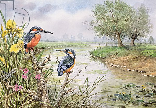 Kingfishers on the Riverbank