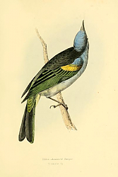 Постер Yellow-shouldered Tanager