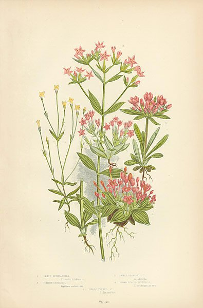 Least Gentianella, Common Centaury, Dwarf Branched c., Broad Leaved Tufted c., Dwarf Tufted c.