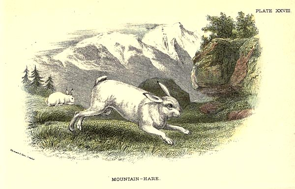 BRITISH MAMMAL 1896 MOUNTAIN HARE
