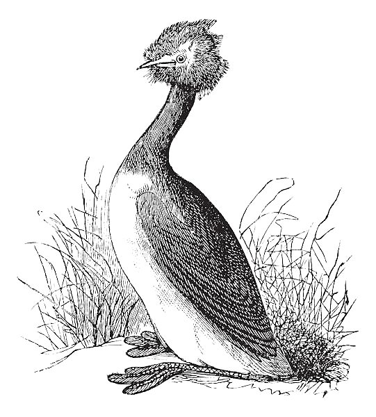 Great Crested Grebe or Podiceps cristatus vintage engraving