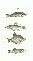 Постер Carp, Tench, Bream, Chub