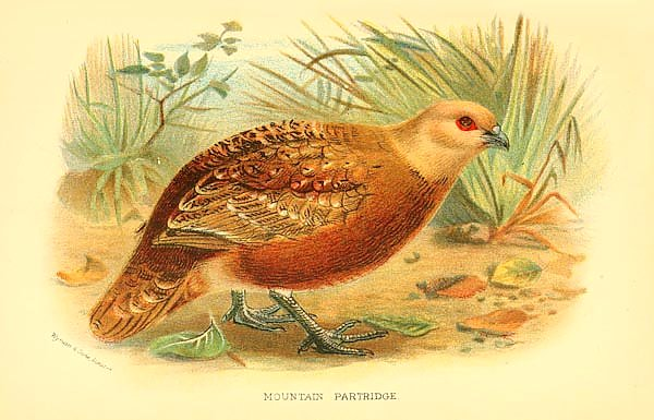 Mountain Partridge