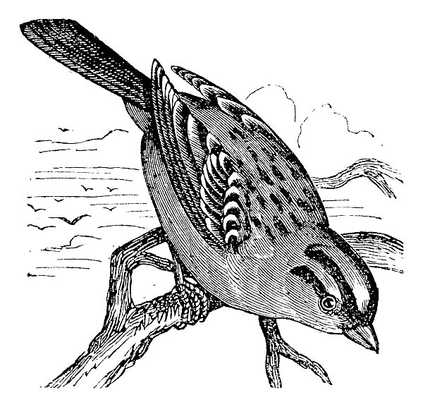 White-crowned Sparrow (Zonotrichia leucophrys), vintage engraving
