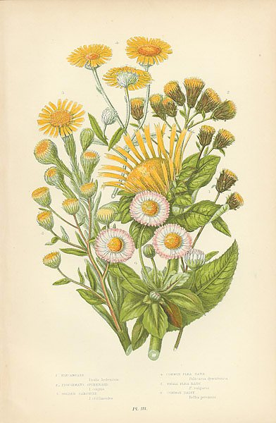 Elecampane, Ploughmans Spikemards, Golden Samphire, Common Flea Bane, Smallflea Bane, Common Daisy