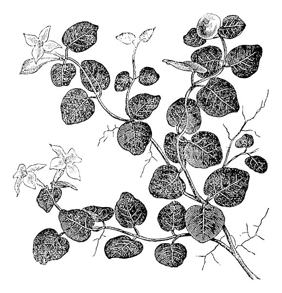 Mitchelle rampant (Mitchell repens), vintage engraving.