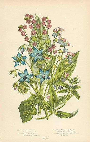 Common Borage, German Madwort, Common Hounds Tongue, Green Leaved Hounds Tongue