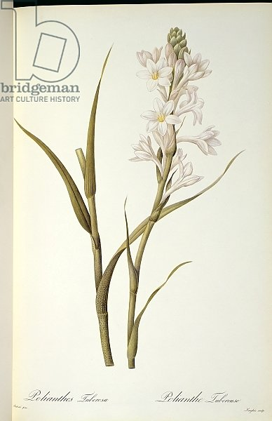 Polianthes Tuberosa, from `Les Liliacees', 1806