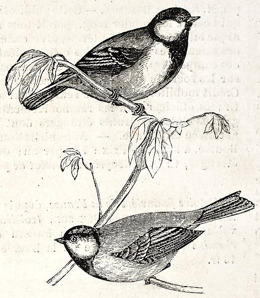Blue Tit old illustration (Cyanistes caeruelus). By unidentified author, published on L'Illustration