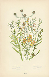 Постер Jersey Cudweed, Highland C.,Marsh C.,Dwarf C., Narrow Leaved Filago,Least F.