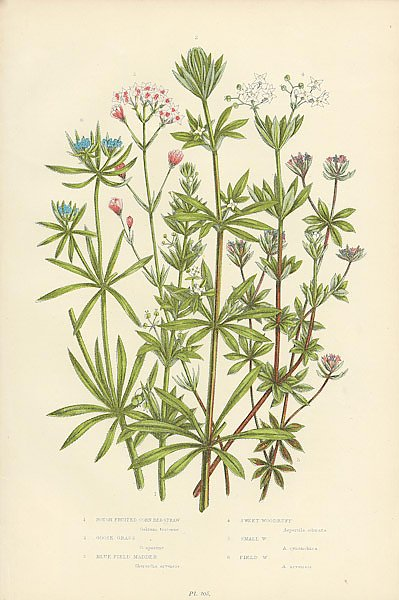 Rough Fruited Corn Bed-straw, Goose Grass, Blue Field Madder, Sweet Woodruff, Small w., Field w.