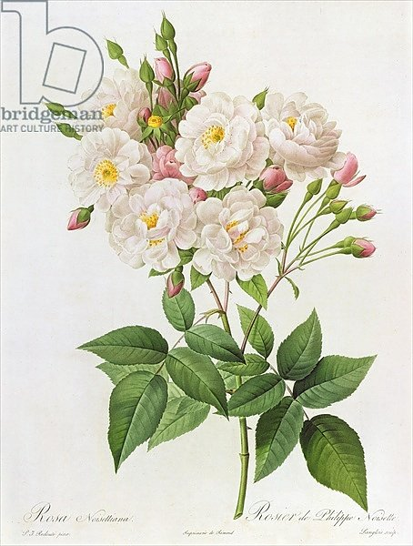 Rosa Noisettiana, from'Les Roses', 19th century 9coloured engraving)