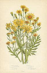 Постер Inelegant Ragwort, Hoary r., Common r., Marsh r., Great Fen r., Broad Leaved Groundsel