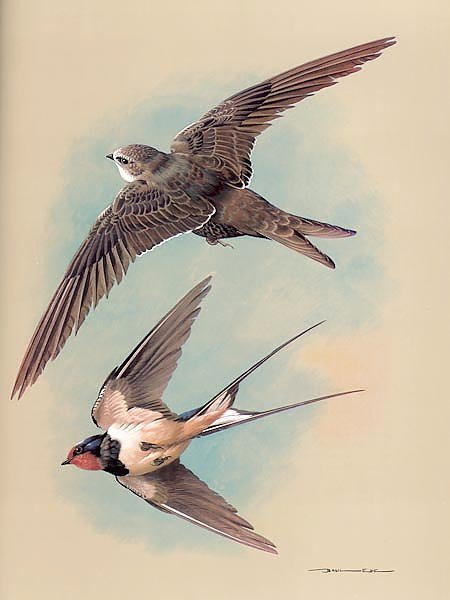 The Swift And Swallow