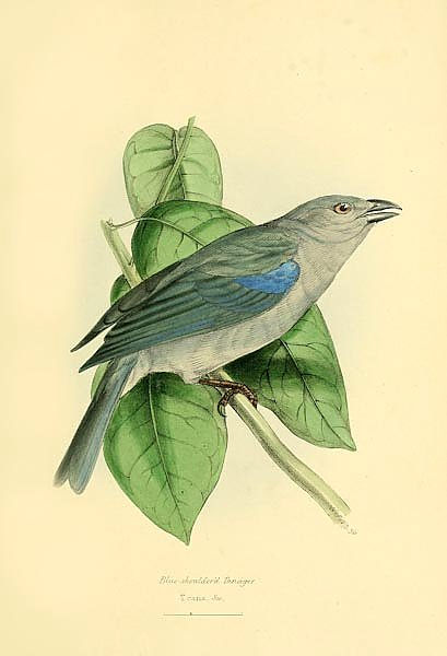 Постер Blue-shouldered Tanager