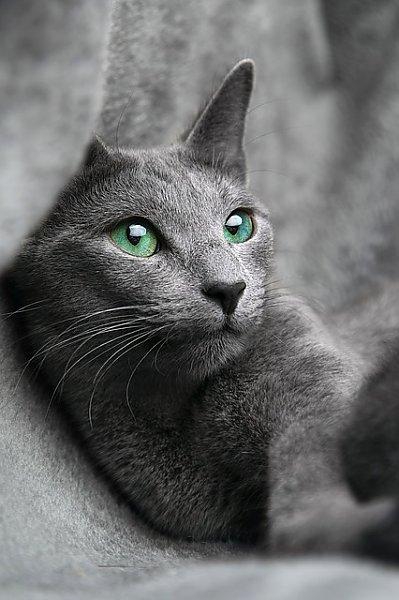 Постер Серая кошка с голубыми глазами