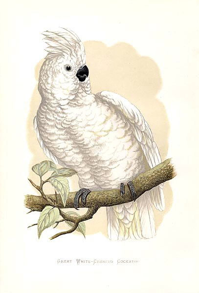 Great White-Crested Cockatoo