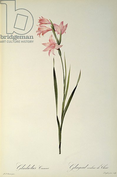 Gladiolus Carneus, from `Les Liliacees', 1804