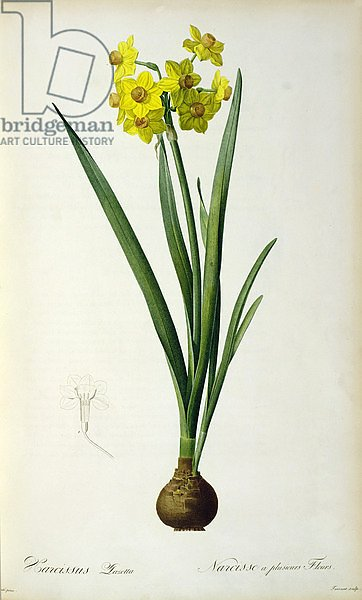 Narcissus Lazetta, from `'Plantae Selectae' by Christoph Jakob Trew, published 175-53