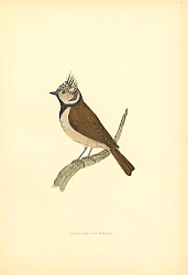 Постер Crested Titmouse