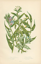 Постер Common Gromwell, Corn Gromwell, Creeping Gromwell, Sea Side Smooth Gromwell