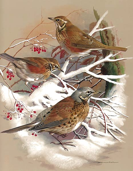 Redwing And Fieldfare