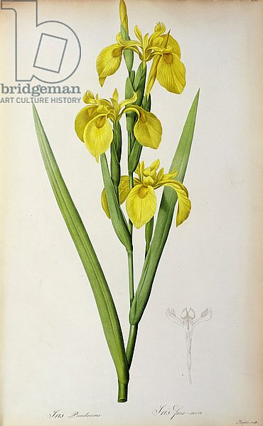 Iris Pseudacorus, from `Les Liliacees', 1805