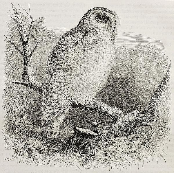 Snowy Owl (Bubo scandiacus). Published on Merveilles de la Nature, Bailliere et fils, Paris, 1878