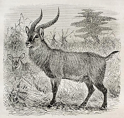 Постер Waterbuck - Kobus ellipsiprymnus - in Uganda. Created by Wolff, published on Le Tour du Monde, Paris