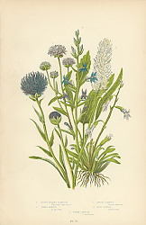 Постер Round Headed Rampion ,Spiked Rampion, Annual Scabious, Acrid Lobelia