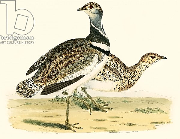 Little Bustard 2