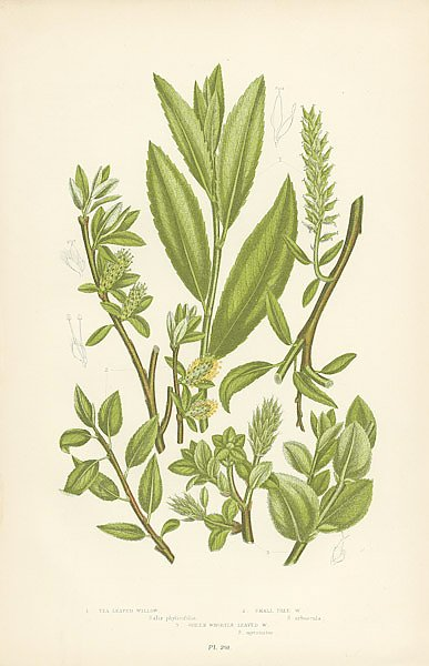 Tea-leaved Willow, Small Tree w., Green Whortle-Leaved w.